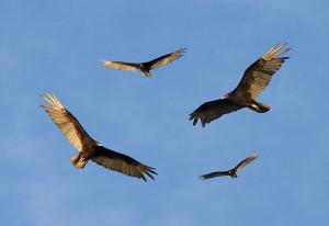 turkey-vultures-circling-300x206